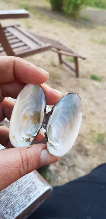 A empty painter´s mussel. There are 3 kinds in Sweden and we believe that this is the one called Unio crassus in latin
